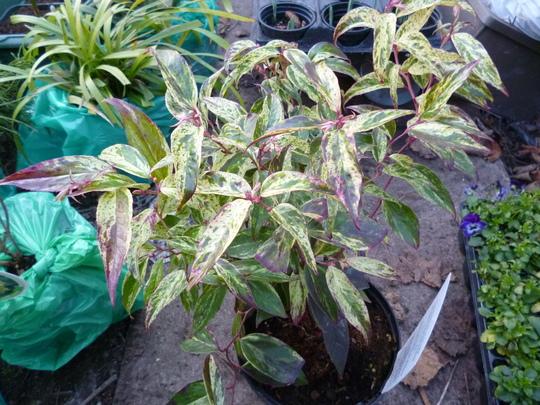 Leucothoe fontanesiana 'Rainbow' (Leucothoe fontanesiana 'Rainbow')