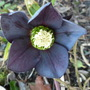 Hellebore_queen_of_spades