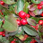 Gautheria_procumbens_checker_berry_jan_2013_7
