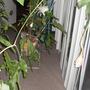 My Beautiful Epiphyllum Oxypetalum (epiphyllum oxypetalum)