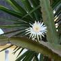Cactus_flower1