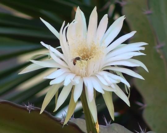 Mexico-Cactus flower- close up