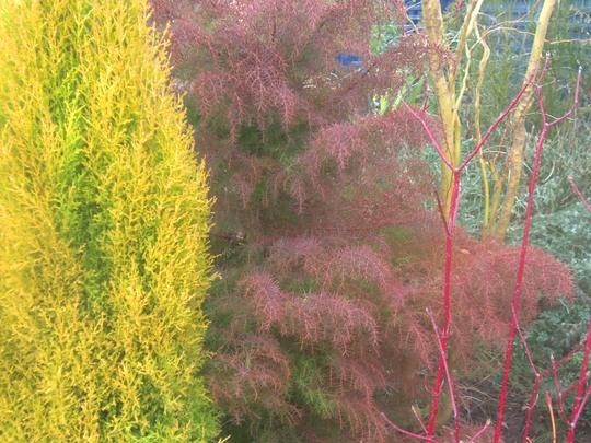 Cryptomeria Japonica Elegans ☼ full sun/ partial shade ❅hardy ✿ evergreen  (Cryptomeria Japonica Elegans)