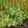 Viburnum tinus variegata