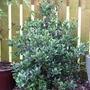 Osmanthus heterophyllus 'Variegatus'