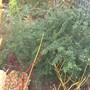 Berberis verruculosa ☼ full sun/ partial shade ❅hardy ★ award ✿evergreen  (Berberis verruculosa)