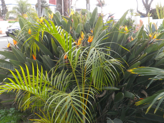 Dypsis lutescens (Butterfly Palm) in front of the Bird-of-Paradise (Dypsis lutescens (Butterfly Palm), Bird-of-Paradise)