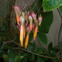 Deppea splendens with Flowers (Deppea splendens with Flowers)