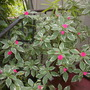 Variegated Impatiens (Impatiens)