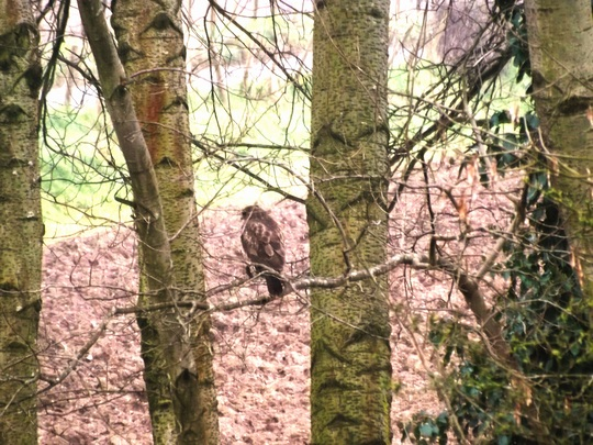 Common Buzzard....Buteo buteo