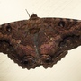 Ascalapha odorata - Black witch moth