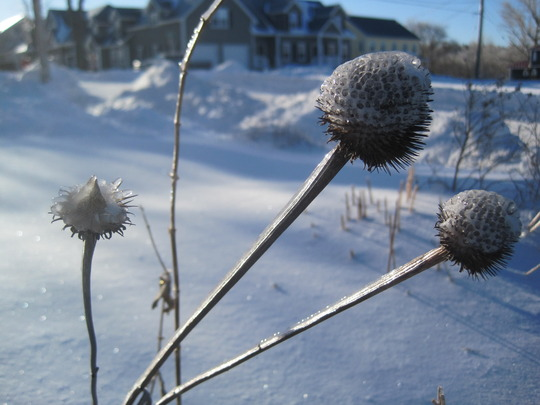 ice covered cones (echinacea)