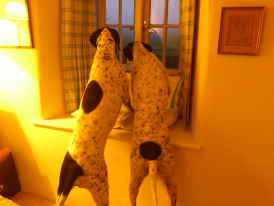 The pups spy a pheasant!!