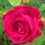 Rosa 'Paul's Scarlet