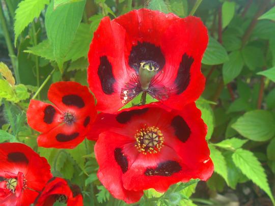 Papaver commutatum 'Ladybird' ☼ full sun ★award❅hardy  (Papaver commutatum 'Ladybird')