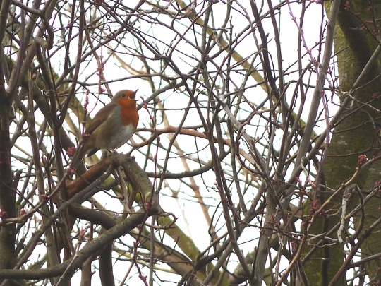 Robin with blossom buds