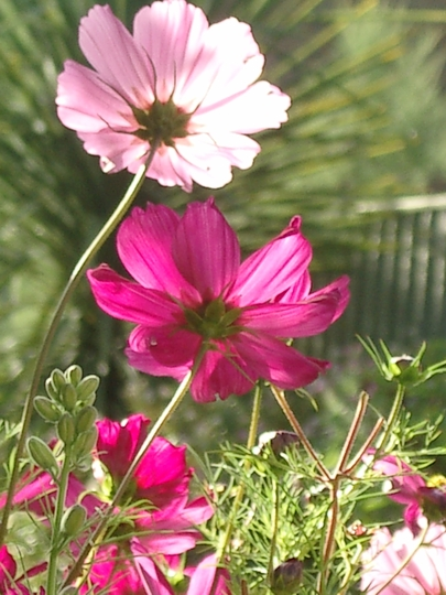 Early morning cosmos