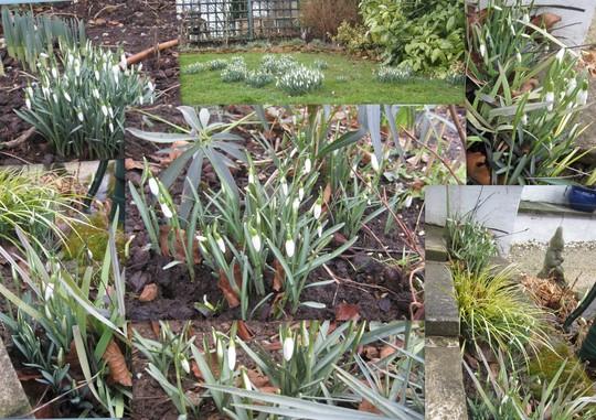 Snowdrops around the garden. (Galanthus elwesii (Snowdrop))