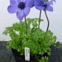 Anemone coronaria (Windflower)  Harmony Blue