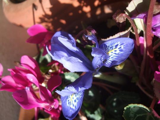 Iris histriodes 'Lady Beatrix Stanley' (Iris histriodes)