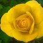 Rosa 'Arthur Bell' ☼full sun ❅hardy ★award (Rosa bell Arthur)