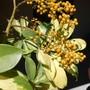 Schefflera_arboricola_1