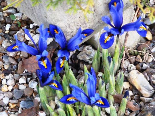 Iris reticulata ...   Joyce ...