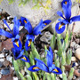 Iris_reticulata_joyce_..