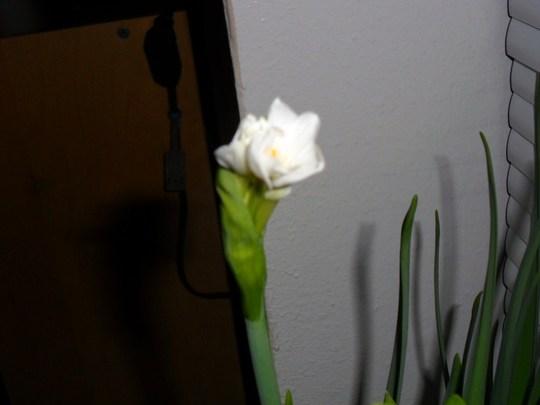 Paper Whites beginning to bloom. 2013 Feb.