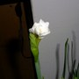 Paper Whites beginning to bloom. 2013 Feb.