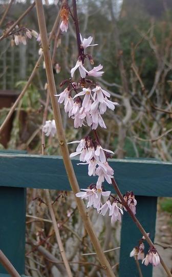 Abeliophyllum distichum (close-up) - 2013 (Abeliophyllum distichum)