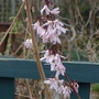 Abeliophyllum_distichum_close_up_2013