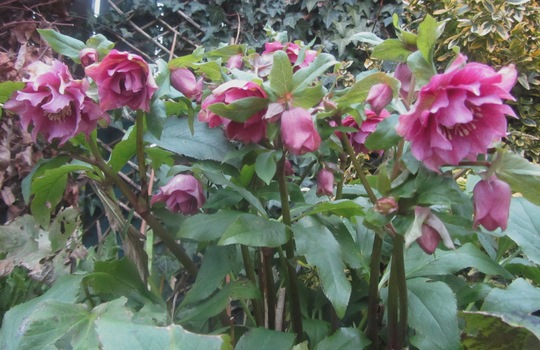 My lovely Hellebores....