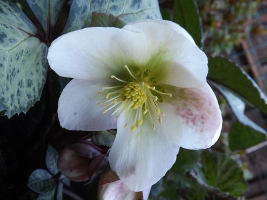 For Chris (Wildrose) (Helleborus x ericsmithii)