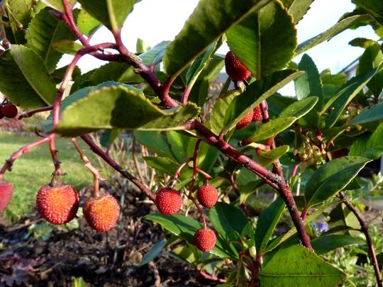 Fruits of Arbutus unedo Compactus