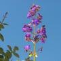 Tibouchina heteromalla - Silver leafed Princess Flower (Tibouchina heteromalla - Silver leafed Princess Flower)