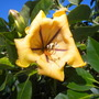 Solandra maxima - Cup of Gold Vine Flower (Solandra maxima - Cup of Gold Vine Flower)