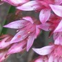 Close up of Sedum (Sedum sediforme)