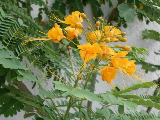 Caesalpinia pulcherrima 'flava'  (Caesalpinia pulcherrima 'flava')
