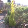 Cupressus Macocarpa conifer ☼full sun ❅hardy ✿evergreen ★ Award   (Cupressus Macocarpa)