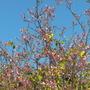 Bauhinia variegata - Common Orchid Tree (Bauhinia variegata - Common Orchid Tree)