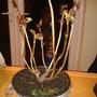 Hygrangea sandra(lacecap flowers)thankyou karensusan x