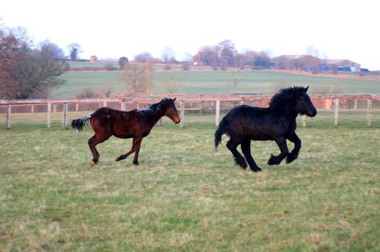 Brabant foal!