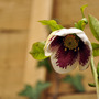 Helleborus &#x27;White Spotted&#x27;