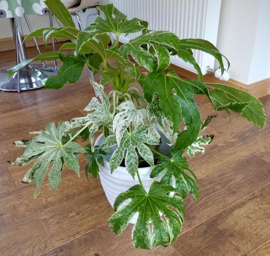 New plant...Fatsia Jap. 'Spider's Web' (Fatsia japonica (Japanese aralia))