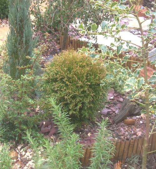 Thuja occidentalis little giant ☼ Full sun ❅ Hardy ✿ Evergreen  (Thuja occidentalis little giant)
