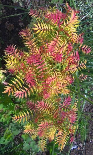 Sorbia Sorbifolia 'Sem'  ☼ Full sun/part shade ❅Hardy   (Sorbia Sorbifolia 'Sem')