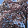 Pink_tree
