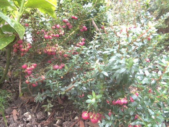 Berries on the Pernettya Gaultheria