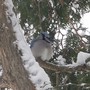 Bluejay fluffed with the cold..feet tucked in against the bitter blast of winter.